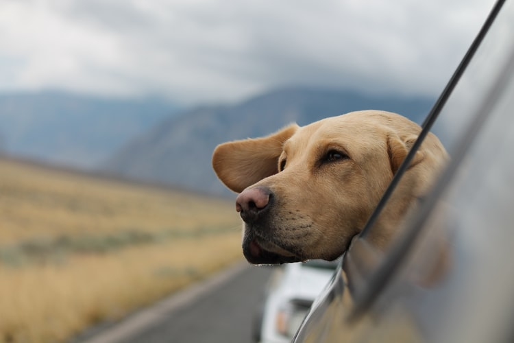 Why is it Important to have Window Tints When You have Pets? [Infographic]